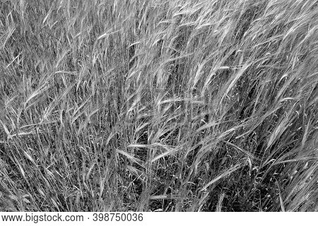 Rye Agricultural Field. Seasonal Background And View