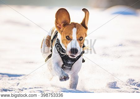 Beagle Dog Leaps Through A Snowy Field Toward The Camera. Canine Theme.
