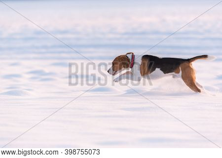 Beagle Dog Leaps Through A Snowy Field In Distance. Canine Theme.