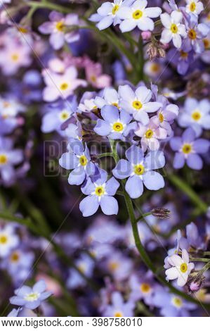 Many Small Blue Myosotis Flowers Grow Together Side By Side In Forest. Shallow Depth Of Field