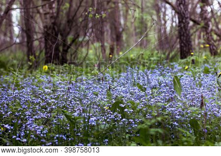 Many Small Blue Myosotis Flowers Grow Together Side By Side In Forest