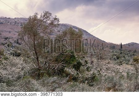 Spring Snow, Unusual Weather. Snow On Olive Tree And Green Grass. Montenegro, Tivat