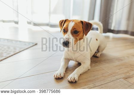 Adorable Dog Jack Russell Terrier Lying On A Wooden Floor At Home. Portrait Of A Little Dog.