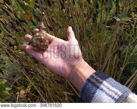Man Harvesting Jerusalem Artichoke In The Farmland