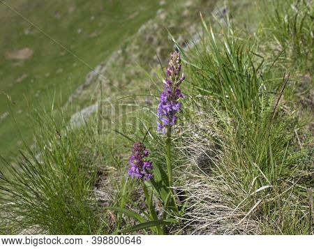 The Fragrant Orchid Or Marsh Fragrant Orchid, Gymnadenia Conopsea Pink Flower In Bloom On The Alpine