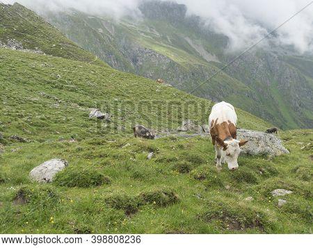 Grazing Cows At Alpine Meadow, Pasture In Stubaital Valley. Summer. Tirol Alps, Austria