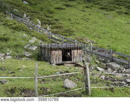 Domestic Pig Looking From Wooden Stable At Mountain Meadow In Tirol Austrian Alps