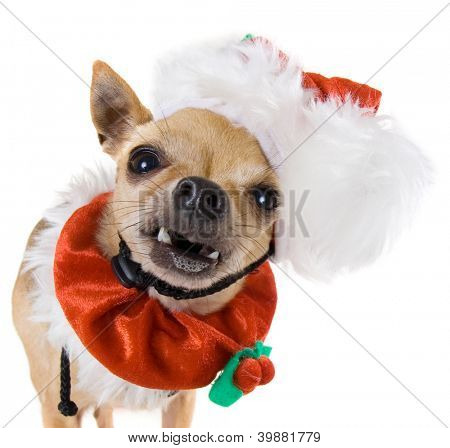 a tiny chihuahua dressed up in a santa outfit poster