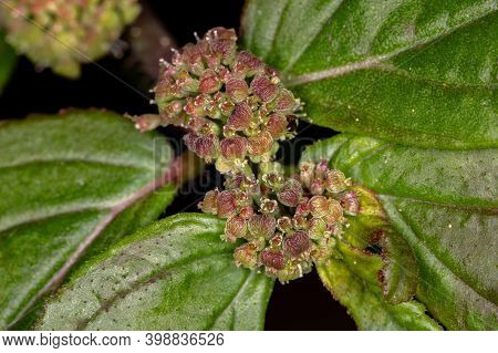 Flower Of A Asthma Plant Of The Species Euphorbia Hirta