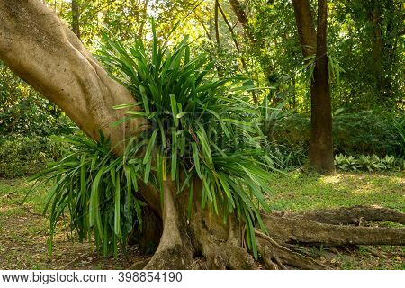 Green Leaves Of Cymbidium Aloifolium Plant Or Wild Orchid Hanging On Brown Trunk Of Tree In Garden