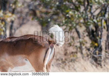 A Black-faced Impala Ram Showing Its White Tail In Northern Namibia
