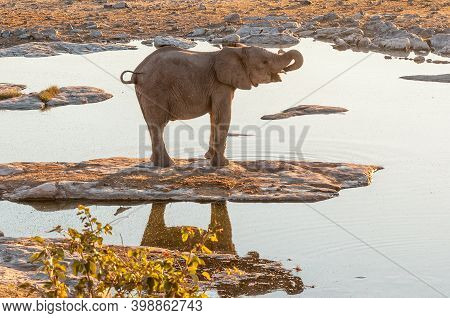 African Elephant At Sunset At The Halali Waterhole In Northern Namibia