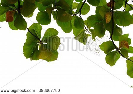 Tropical Tree Leaves With Branches And Sunlight On White Isolated Background For Green Foliage Backd
