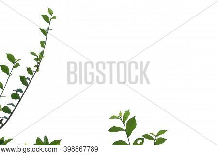 Young Tropical Plant Leaves With Branches On White Isolated Background For Green Foliage Backdrop