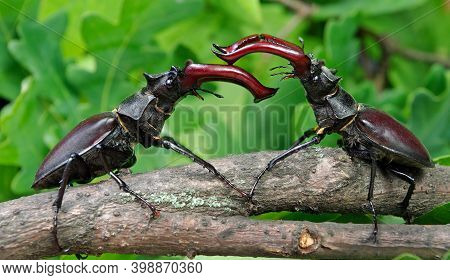 Stag Beetles In Oak Forest. Duel Of Two Males.  Close Up.