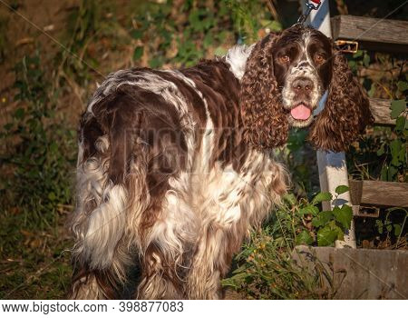 German Spaniel Dog With Beautiful Curly Ears Portrait In Nature. The Most Beautiful Award-winning Ge