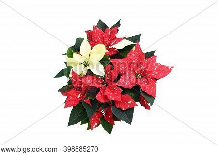 Top View Beautiful Nature Fresh Red-white Poinsettia Flower Or Christmas Star Blossom With Green Fol