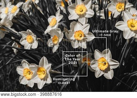 White Yellow Flowers Narcissus Background. Mother Day, Womans Day Greeting Card. Hello Summer Concep