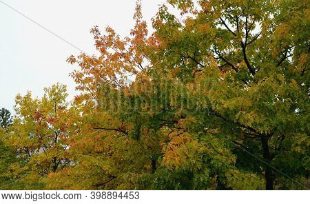 Morus. Creates A Large Crown. The Deep Green Leaves Are Quite Large, Irregular In Shape. In Autumn,