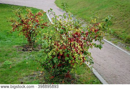 Ornamental Apple Trees In The Park On The Square Have The Shape Of Shrubs Branching Directly From Th