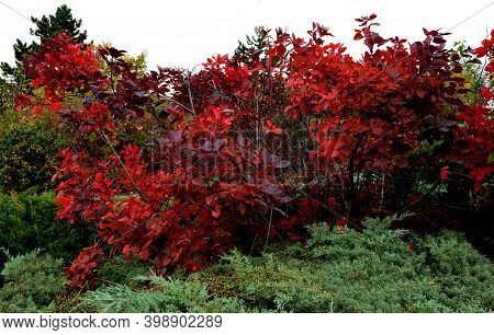 The Dark Burgundy Leaves Have A Narrow Pink Border On The Edge. From June, Pink Inflorescences Bloom