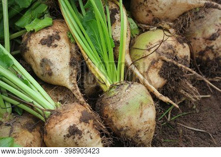 Fresh Harvested White Organic Beetroots Laying On The Ground Soil. Beetroots With Leaf. Unwashed Bee