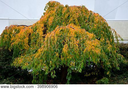 Deciduous, Medium-growing Tree With A Markedly Overhanging Crown. The Leaves Are Alternate, Shortly