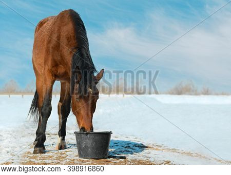 The Horse Is Drinking A Water From The Plastic Bucket On The Background Of The Snowy Landscape.