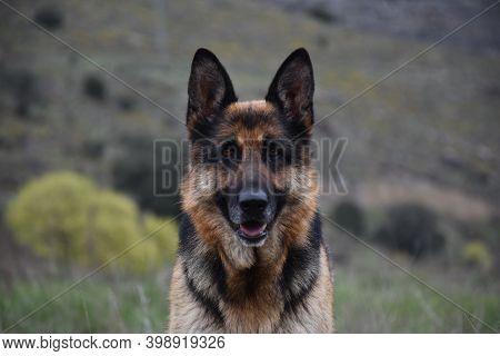 German Shepherd (alsatian) Portrait With Blurred Mountain Background.