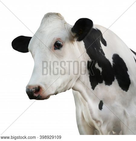 Cute Cow On White Background, Closeup View. Animal Husbandry