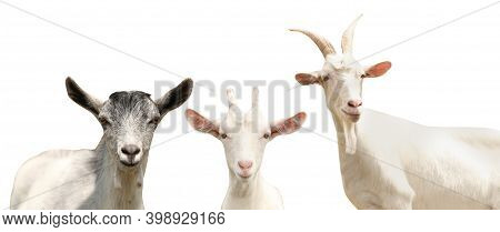 Set With Cute Goats On White Background, Banner Design. Animal Husbandry