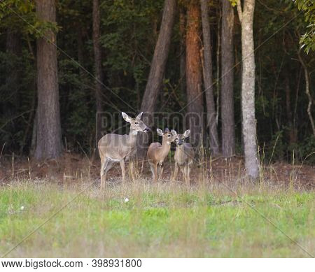 Three Whitetail Deer In A Forest Near Raeford North Carolina