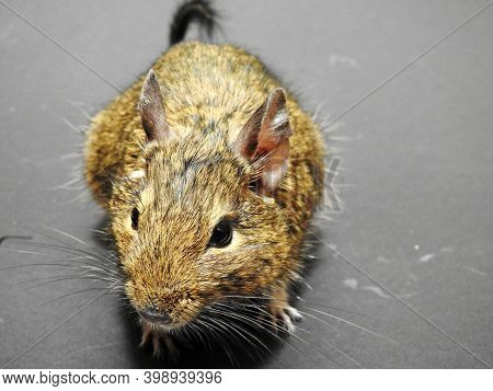 Chilean Tame Squirrel Degu Close-up Partially Dissolved On A Dark Background