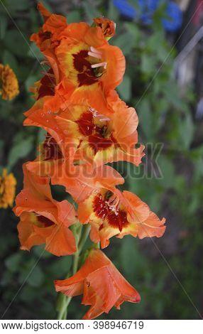Gladiolus, Sword Lily, Orange, Purple Gladiolus Flower. Flowers In Summer And Autumn. Garden And Flo