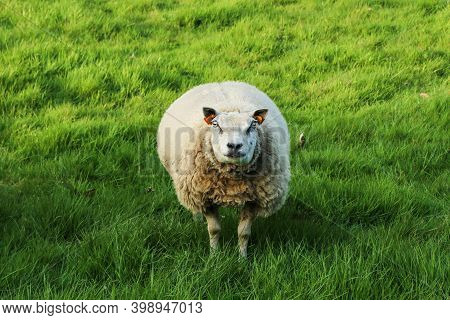 A Sheep Is Standing On The Meadow And Looking At You. She Looks Quite Stupid.