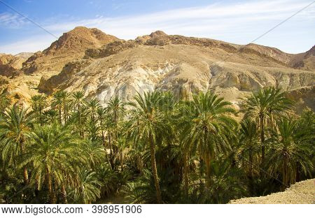 Date Palm Tree With Date Fruits Against Blue Sky With White Clouds In Oasis Inside Desert