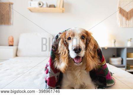 Portrait Of A Happy Spaniel Dog On The Sofa In Bedroom. Pets At Home, Cheerful And Funny Puppy On Th