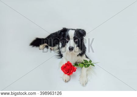St. Valentines Day Concept. Funny Portrait Cute Puppy Dog Border Collie Lying Down With Red Rose Flo