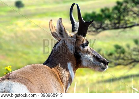 Profile Of A Pronghorn Or Antelope At Custer State Park, South Dakota.