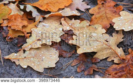 Fallen autumn oak leafage with water drops on ground in forest