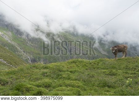 Brown Cute Grazing Cow At Alpine Meadow, Pasture In Stubaital Valley. Summer. Tirol Alps, Austria