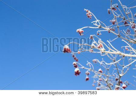 Viburnum Tree On Blue Sky Background