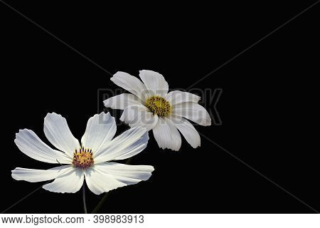 Summer Flowers, White Cosmos Flowers, Isolated On Black Background - In Latin Cosmos Bipinnatus