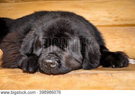 Sleeping And Resting Black Newfoundland Dog On Wooden Stairs. Sleeping Dog In A Log Cabin. Hard Day.