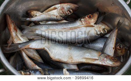 Caught herring in a steel bucket (Clupea harengus) poster
