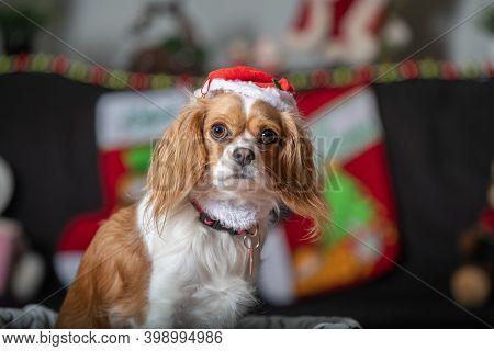 A Cavalier King Charles Celebrating The Holiday Season
