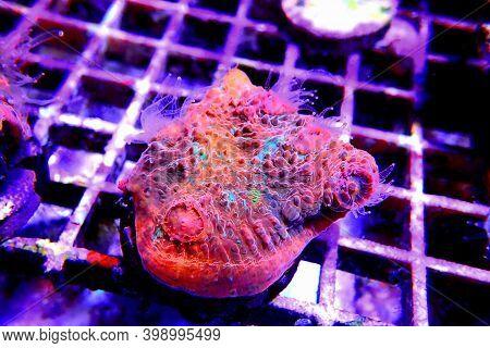 Chalice Colorful Coral In Marine Aquarium Tank