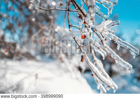Tree Twigs With Red Berries Covered With Sparkling Snow And Ice. Shiny Icicles On A Tree, Blue Sky O
