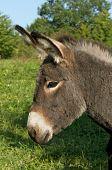 Portrait of a juvenile donkey Alsace France poster