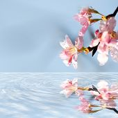 Cherry blossom in spring with beautiful pastel pink background. poster